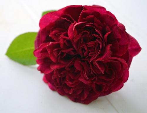 暮らしで楽しむ英国バラ図鑑① ~ウィリアム・シェイクスピア2000~
