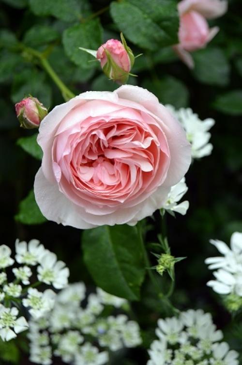 暮らしで楽しむ英国バラ図鑑④ ~イングリッシュ・ヘリテージ~