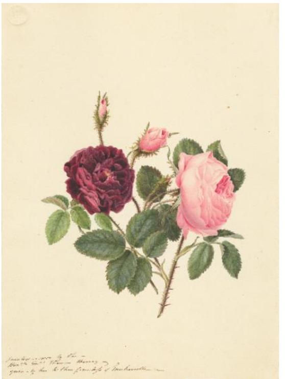 キュガーデン 英国王室が愛した花々 シャーロット王妃とボタニカルアート 20201年9月18日〜11月28日 東京都庭園美術館
